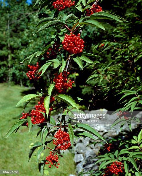 Leaves and fruits of Red Elderberry Caprifoliaceae