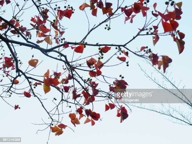 Leaves and Wax Nuts in Autumn I