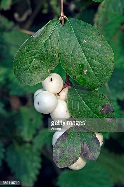 Leaves and white berries of Common snowberry