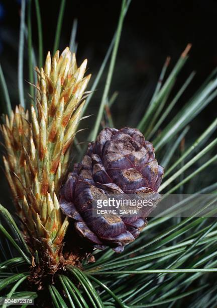 Leaves and young cones of Swiss pine Pinaceae