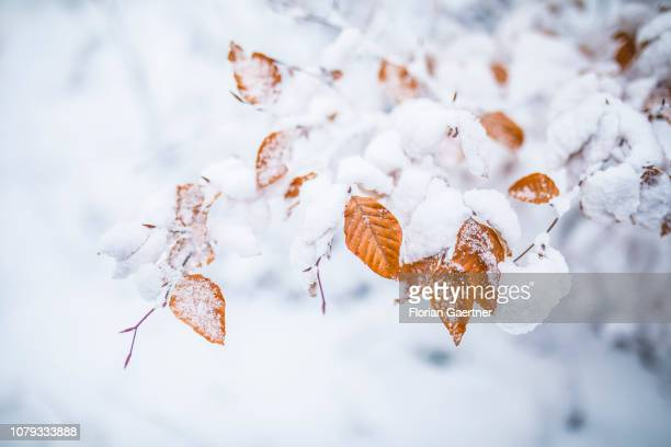 Leaves are covered with snow near the germanpolishczech border triangle at the Zittauer Mountain on January 02 2019 in Lueckendorf Germany