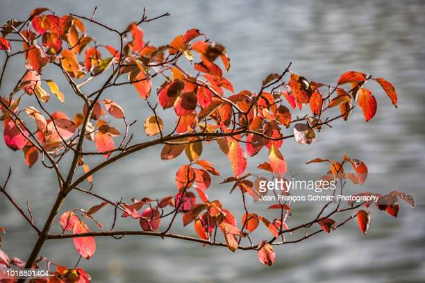 leaves are turning red in fall, october 2012 - united_states_senate_election_in_virginia,_2012 stock pictures, royalty-free photos & images