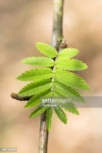 Leaves emerging from tree buds on branch of Rowan tree Sorbus aucuparia or Mountain Ash as Spring turns to Summer in UK#13#10