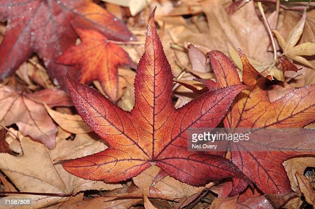 Leaves from a Maple Tree - Directly Above