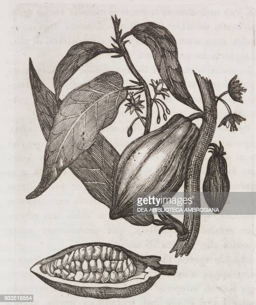 Leaves fruit and flowers of the cacao tree engraving from L'album giornale letterario e di belle arti Saturday March 21 Year 2