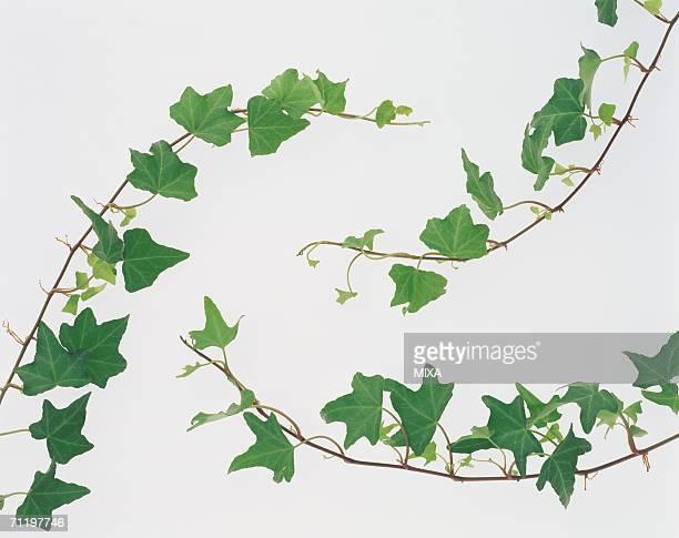 Leaves hanging on stem