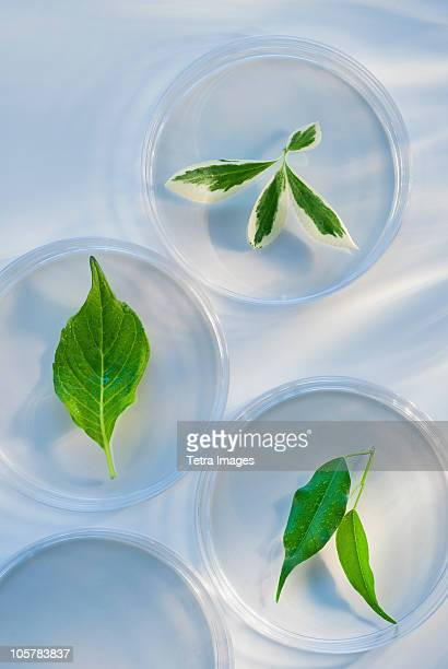 Leaves in Petri dishes