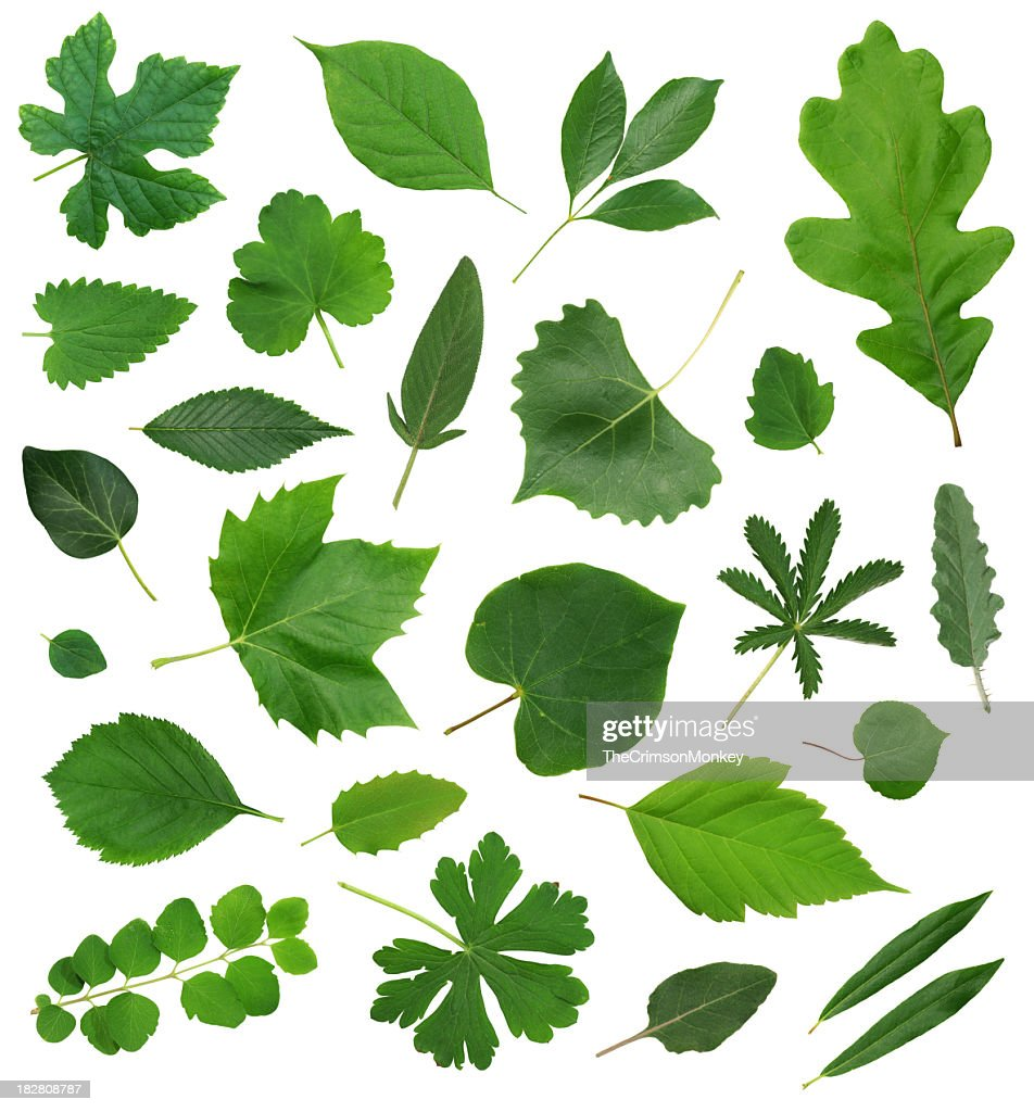 Leaves Leaf Isolated Collection Assortment : Stock Photo