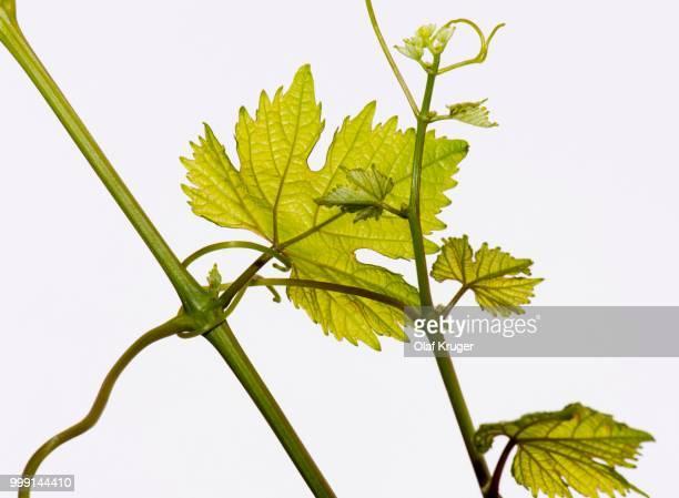 Leaves of a Grapevine (Vitis vinifera), Obersoellbach, Hohenlohe, Baden-Wuerttemberg, Germany