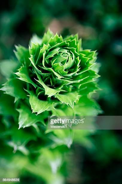 leaves of a guzmania angustifolia - bromeliad ストックフォトと画像