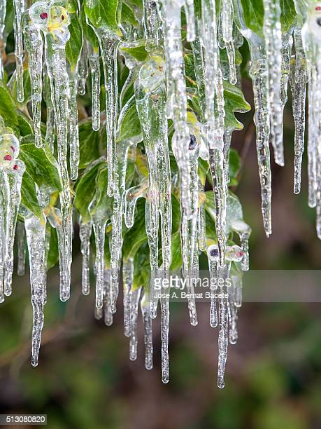 Leaves of a plant of vine in the forest cover of icicles of ice
