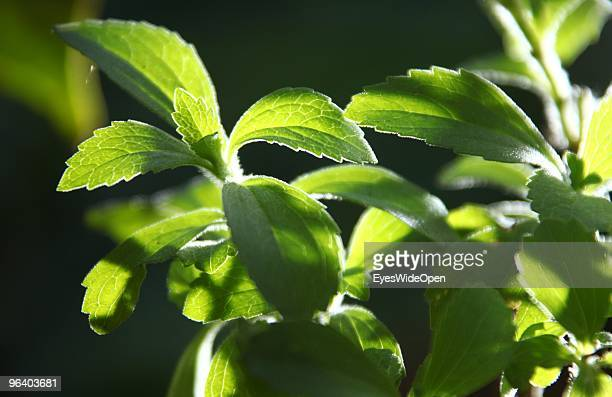 Leaves of a stevia plant a natural healthy sweetener in Kumily on January 04 2010 in Kumily near Trivandrum Kerala South India