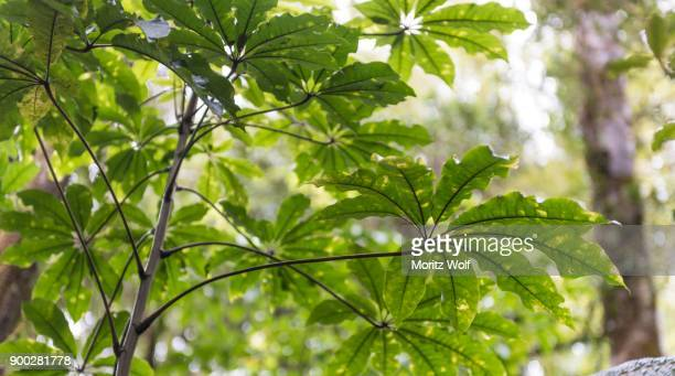 Leaves of Aralia (Aralia), vegetation in Waipoua Forest, Northland, North Island, New Zealand