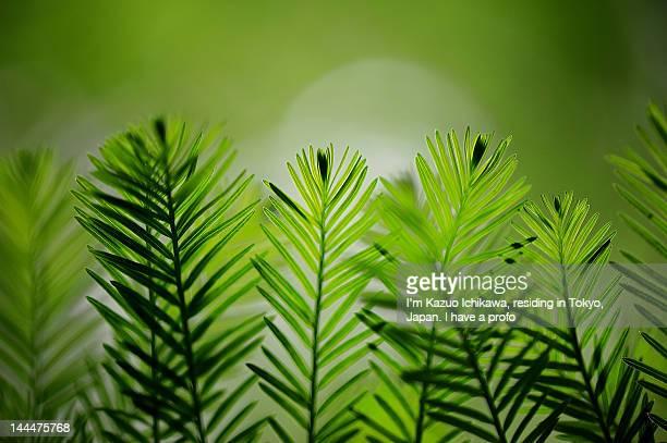 leaves of bald-cypress - bald cypress tree imagens e fotografias de stock
