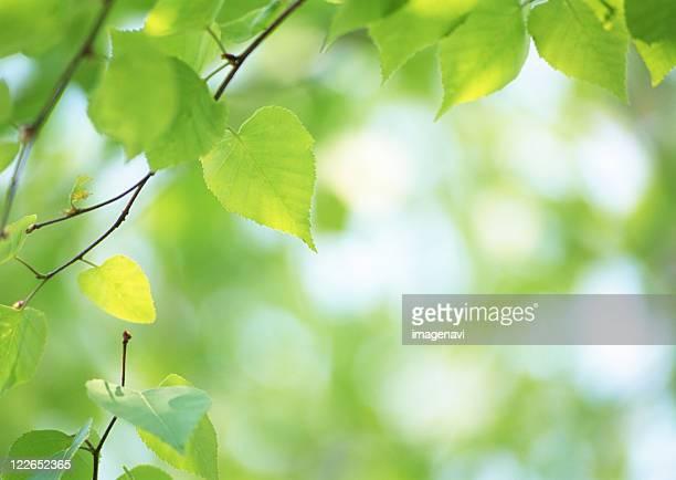 Leaves of Birch tree