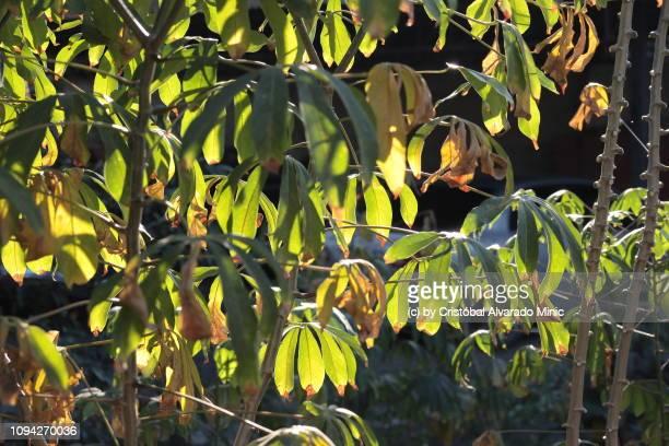 Leaves Of Cassava
