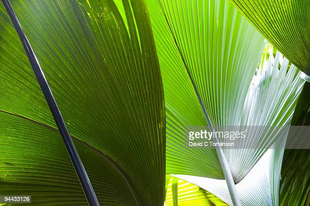 leaves of coco de mer palm, praslin, seychelles - coco de mer stock pictures, royalty-free photos & images