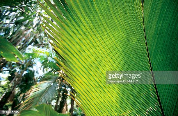 Leaves of coconut palm sea in Praslin Seychelles Reserve in the Vallee de Mai Praslin Island