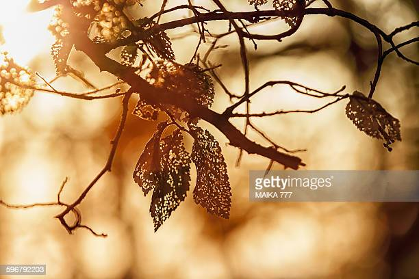 leaves of elm (ulmus minor) with dutch elm disease - elm tree stock pictures, royalty-free photos & images