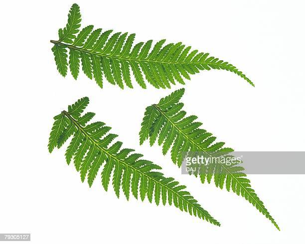 Leaves of Fern, High Angle View, Close Up