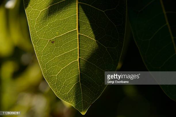 leaves of ficus ingens, the red-leaved fig - blood vessels stock pictures, royalty-free photos & images