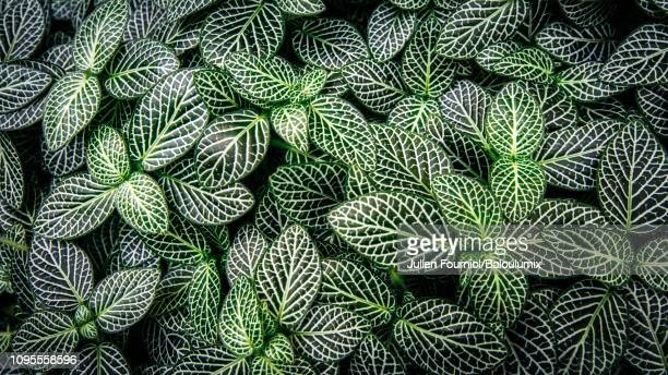leaves of fittonia, nice, france - bush stock pictures, royalty-free photos & images