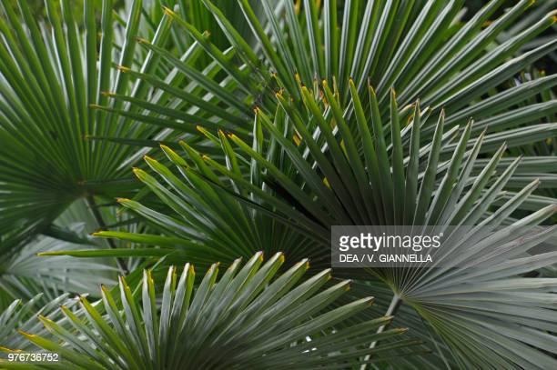 Leaves of Fortune Palm or Chinese Palm Arecaceae Gardens of Trauttmansdorff Castle Merano TrentinoAlto Adige Italy