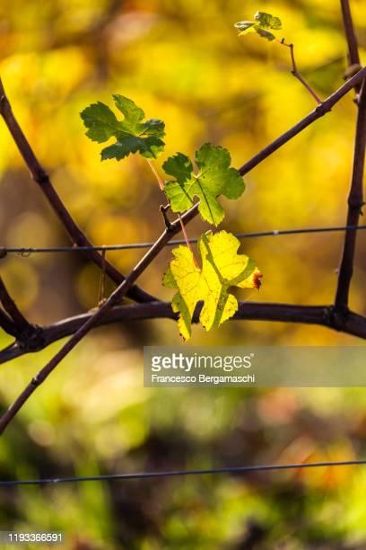 leaves of grapes illuminates by sun. - italia ストックフォトと画像