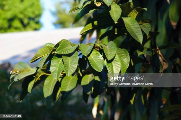 Leaves Of Guava Tree