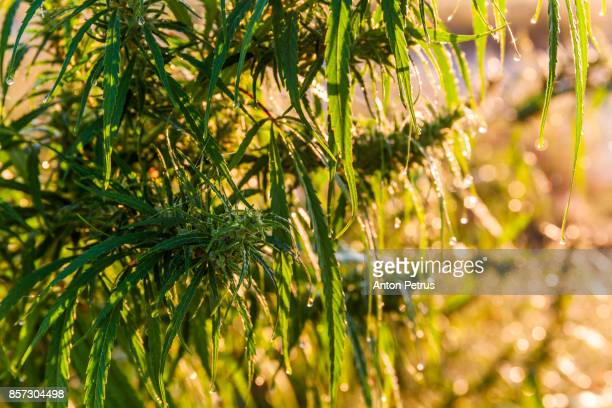 leaves of marijuana in the dew at dawn - drug cartel stock pictures, royalty-free photos & images