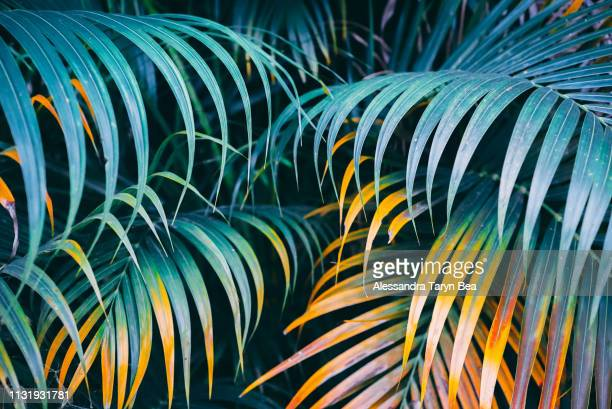 leaves of palms - palm tree stock pictures, royalty-free photos & images
