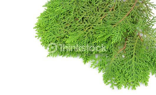Christmas Leaf Name.Pine Tree Leaf Scientific Name Jidileaf Co