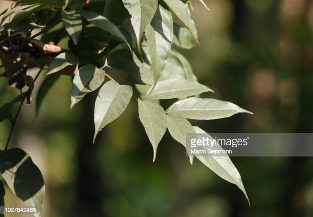 leaves of sandalwood tree (santalum album), kerala, india, south asia - sandalwood stock pictures, royalty-free photos & images