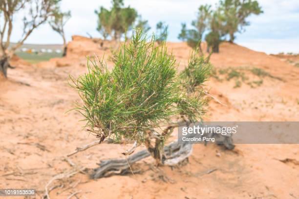 Leaves of Saxaul trees that grow on desert sands in the Gobi.