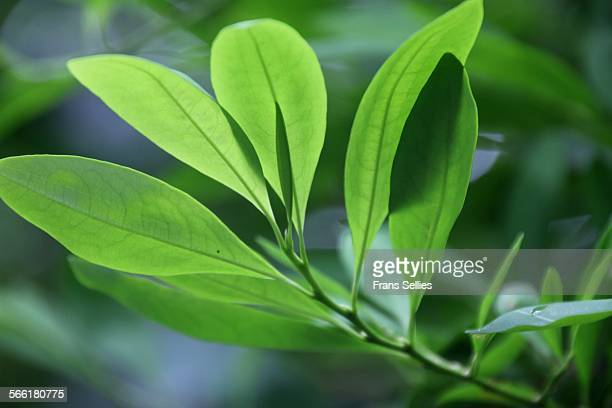 Leaves of the Coca plant