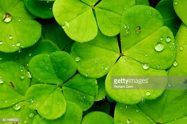 Leaves of the wood sorrel -Oxalis acetosella- with dew drops