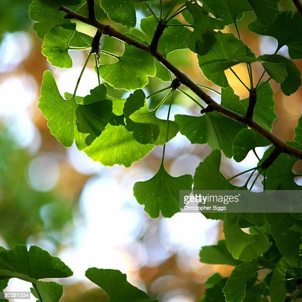 Leaves on a ginko tree