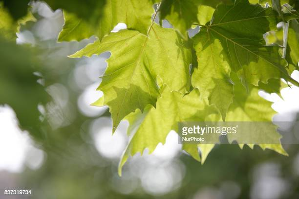 Leaves on a maple tree are seen on 19 August in Bydgoszcz Poland