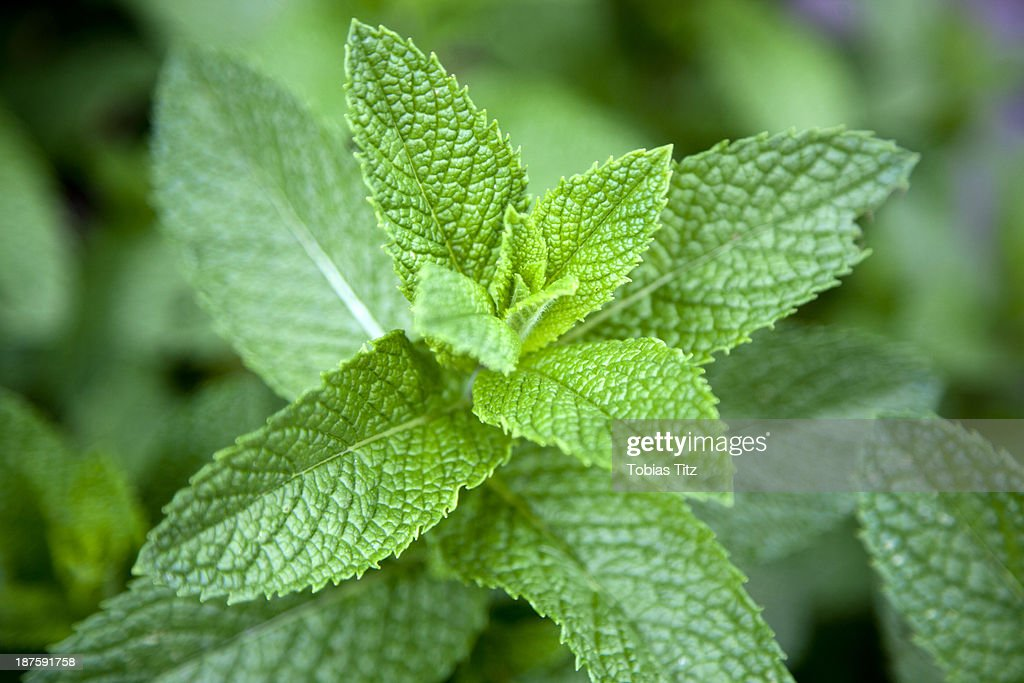 Leaves on a mint plant (Lamiaceae), close-up : Stock Photo