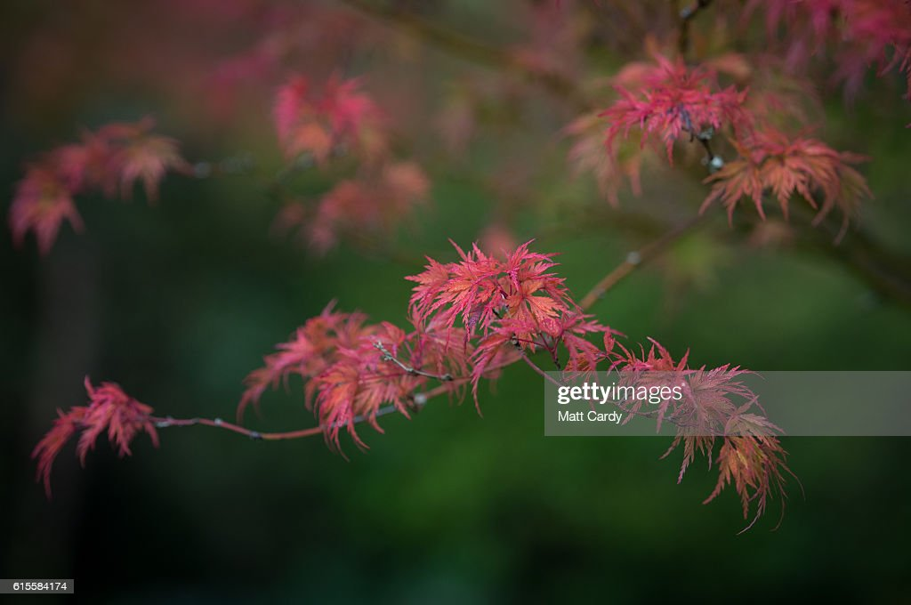 Leaves on a tree that is beginning to show their autumn colours is seen in Royal Victoria Park on October 19, 2016 in Bath, England. After an unusually hot September and a mild autumn so far, trees in many parts of the UK are only just beginning to display their autumn colours.
