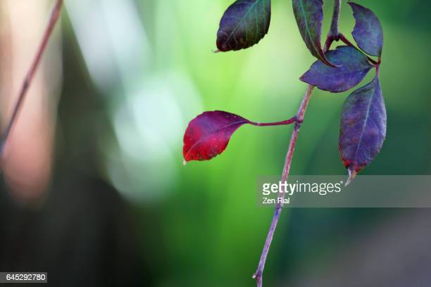 Leaves on a vine in different whithered stages in different tones of red against green background