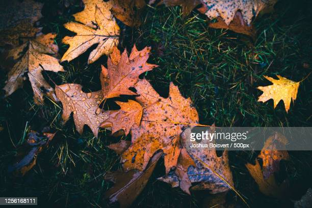 leaves on grass in autumn - manchester new hampshire stock pictures, royalty-free photos & images