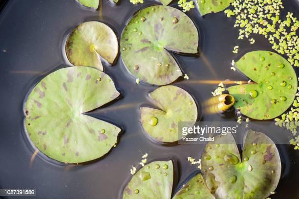 leaves on water - fiore di loto foto e immagini stock