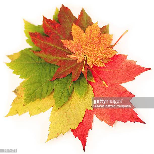 leaves - autumn leaf color stock pictures, royalty-free photos & images