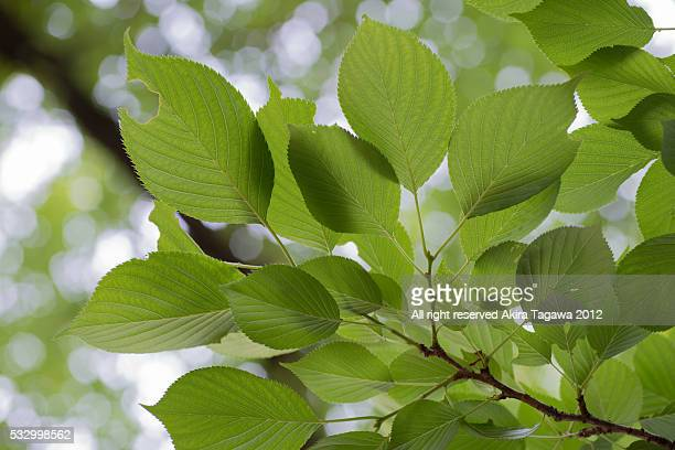 leaves - united_states_senate_election_in_virginia,_2012 stock pictures, royalty-free photos & images