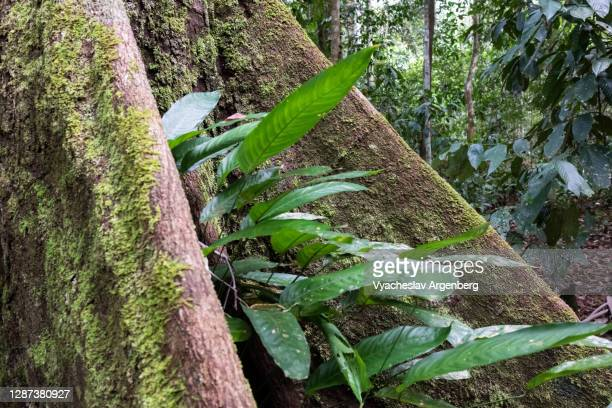 leaves, plants, roots in tropical rainforest, borneo, malaysia - argenberg stock pictures, royalty-free photos & images