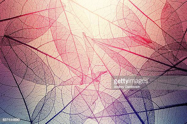 leaves skeleton background - blatt pflanzenbestandteile stock-fotos und bilder