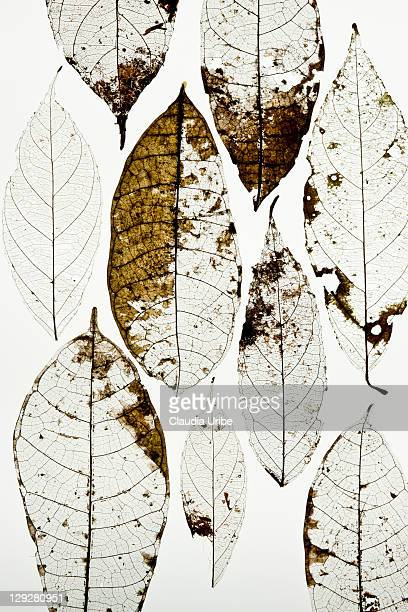 Leaves squeletons  against white
