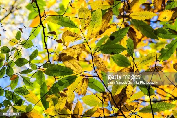leaves turn yellow in autumn - kastanie laubbaum stock-fotos und bilder