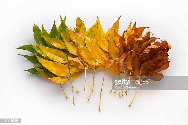 leaves turning color from green to yellow to brown - jahreszeit stock-fotos und bilder